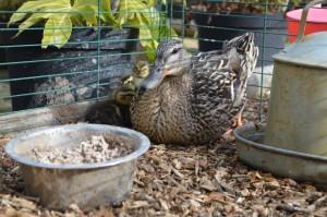 Mamma Duck 2