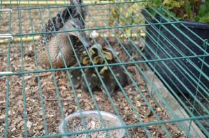 Mamma Duck 4