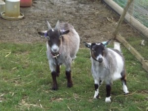 Dolly and Nanny - Our gorgeous miniature pygmy goats